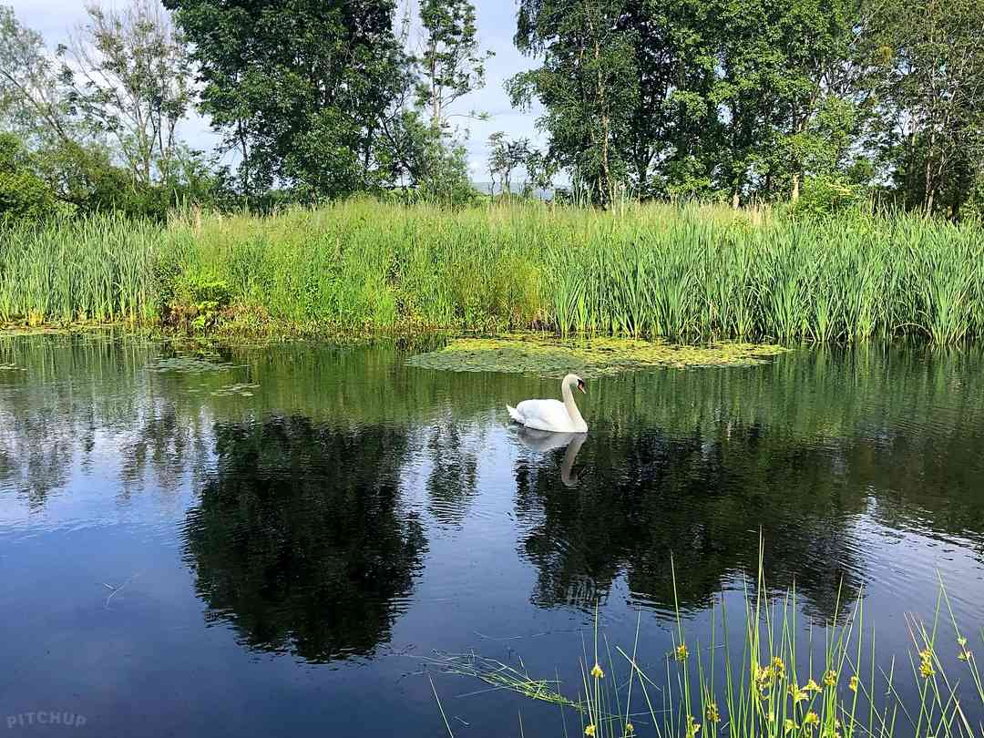 Docker Holiday Park: Swan in our fishing lake