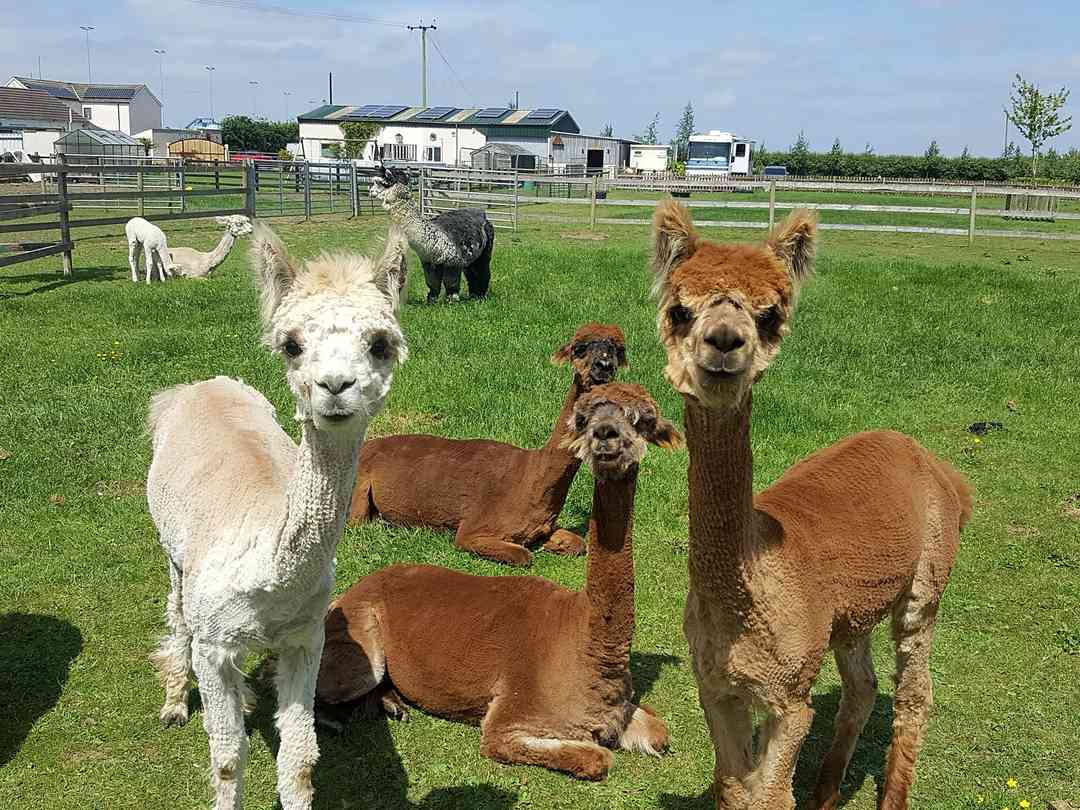 Marshlands Alpacas