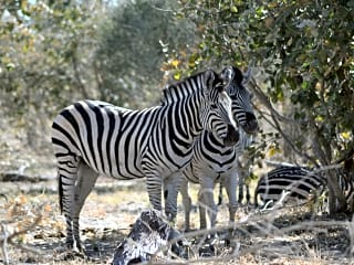 Zebra are a frequent visitor to the area