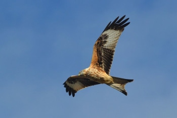 Red kite soaring. Pic by fencerandy.