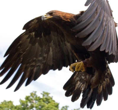 Golden eagle in flight. Pic by Tony Hasgett, Birmingham UK.