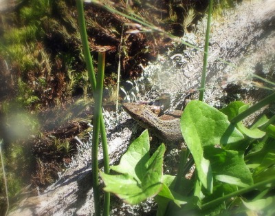 Sand lizard at the New Forest Reptile Centre. Pic by Gillian Moy.