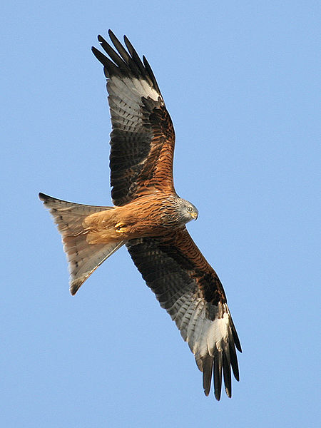 Red kite. Pic by ThKraft.