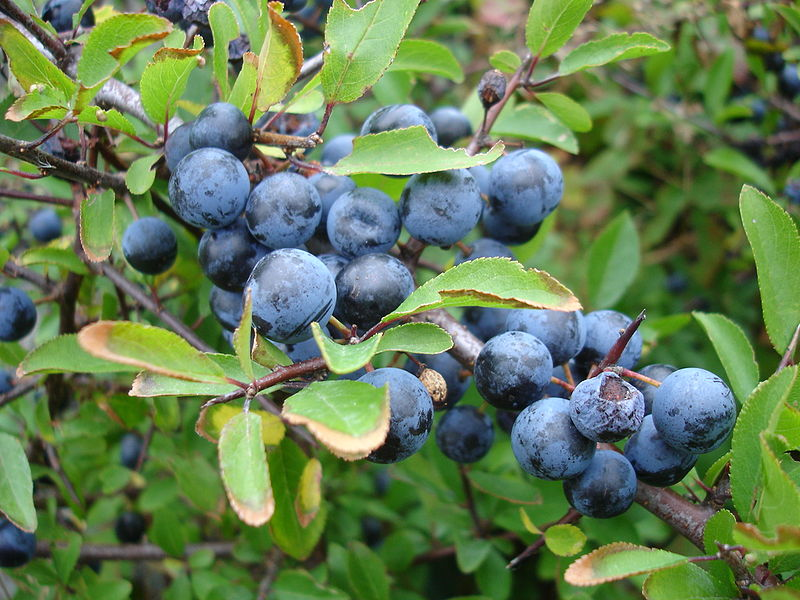 Ripe sloes. Pic by Mnemo.