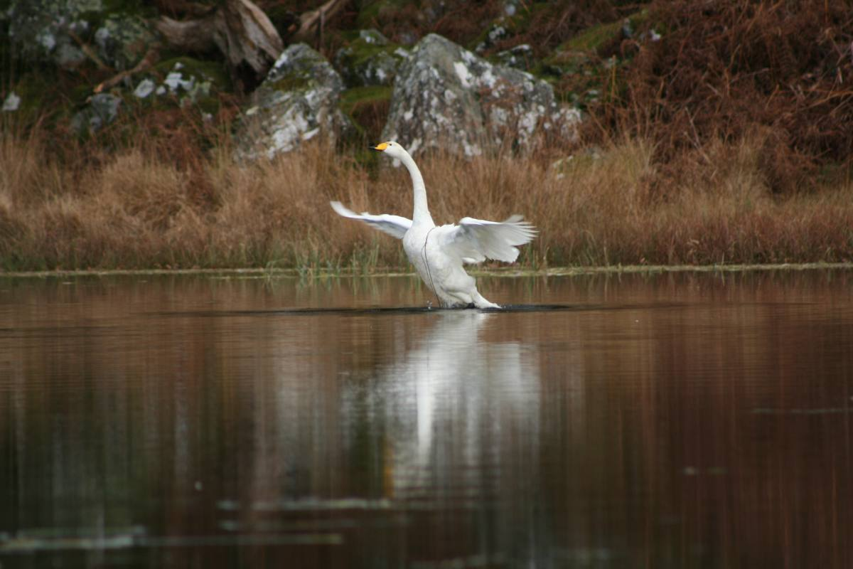 Swan at Dinas Caravan Park and Camping